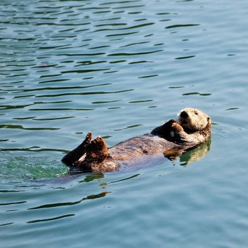 Sea-otter-in-calm